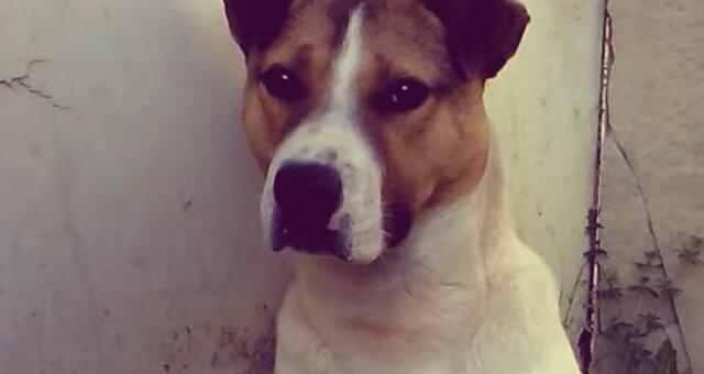 Pitbull-Terrier-Mischling. Quelle: Screenshot Youtube