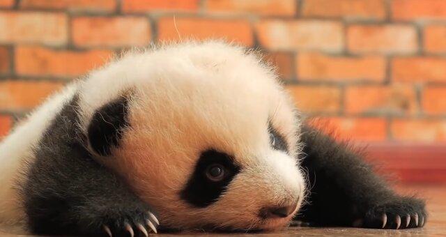Panda-Baby. Quelle: Screenshot Youtube