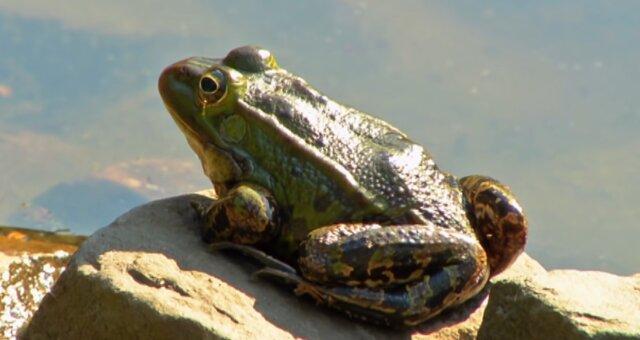 Frosch. Quelle: Screenshot Youtube