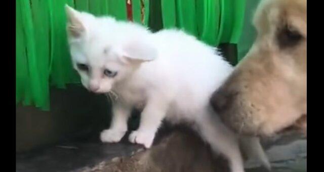 Hund brachte ein Kätzchen mit nach Hause. Quelle: Screenshot Youtube
