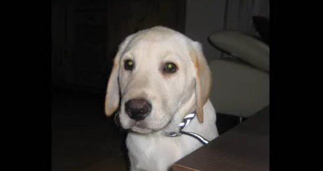 Labrador. Quelle: Screenshot Youtube