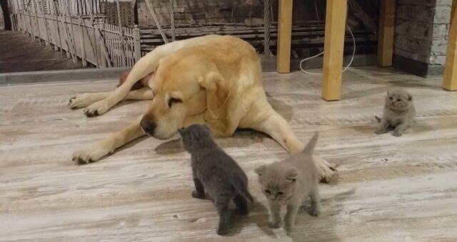 """Hund wurde """"Vater"""" für Kätzchen. Quelle: Screenshot Youtube"""