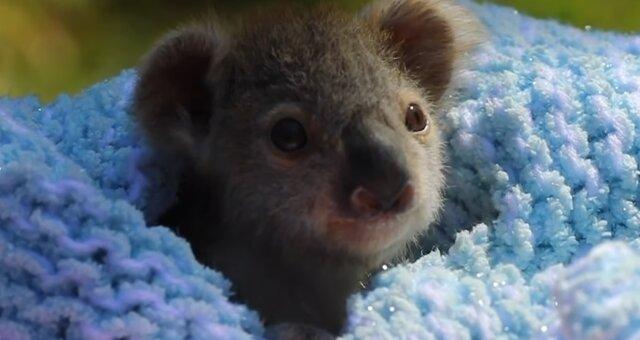 Baby-Koala. Quelle: Screenshot Youtube