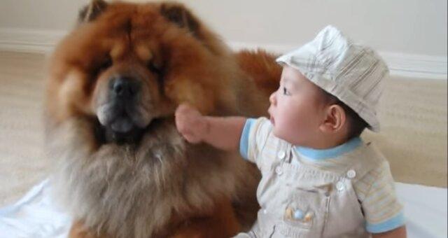 Chow-Chow und Baby. Quelle: Screenshot Youtube