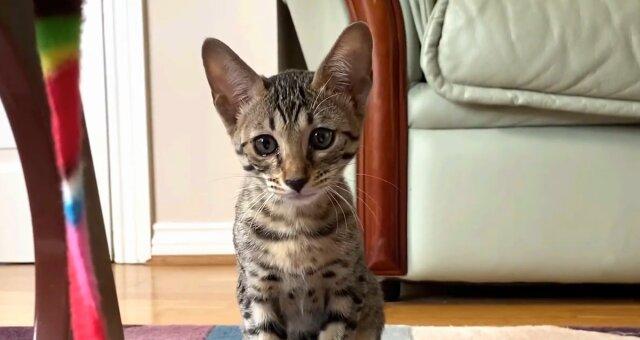Exotisches Kätzchen. Quelle: Screenshot Youtube