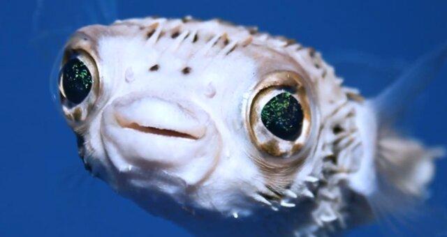 Igelfisch. Quelle: Screenshot Youtube