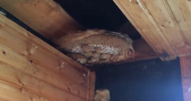 Mann fand einen riesigen Bienenstock in der Decke. Quelle: Screenshot Youtube