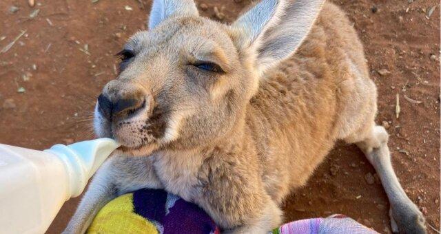 Niedliches Känguru. Quelle: Screenshot Youtube