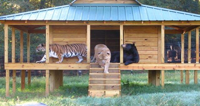 Bär Balu, Löwe Leo und Tiger Sherhan. Quelle: Screenshot Youtube