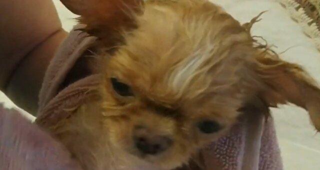 Chihuahua-Welpe. Quelle: Screenshot Youtube