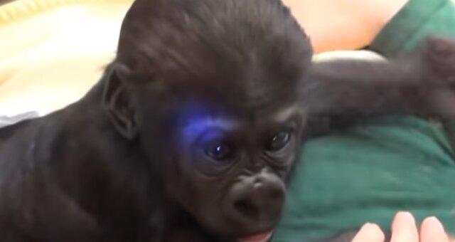 Gorillababy. Quelle: Screenshot Youtube