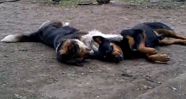 Verliebtes Hundenpaar. Quelle: Screenshot Youtube