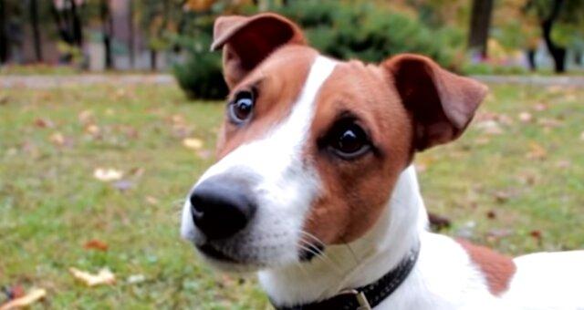 Jack Russell Terrier. Quelle: Screenshot Youtube