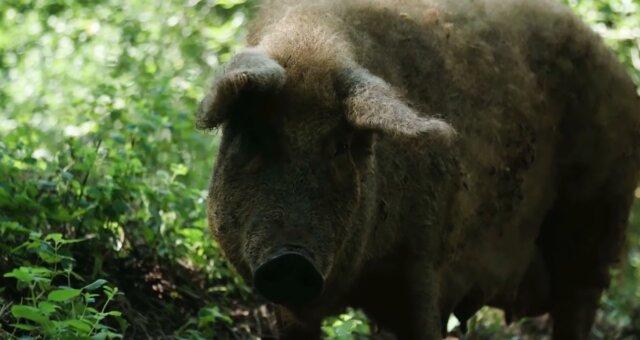 Das größte Schwein. Quelle: Screenshot Youtube
