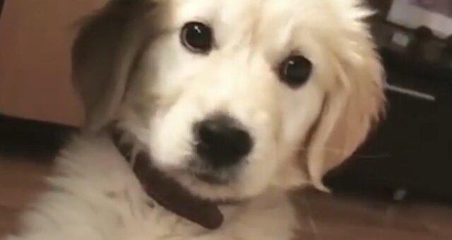 Golden Retriever. Quelle: Screenshot Youtube