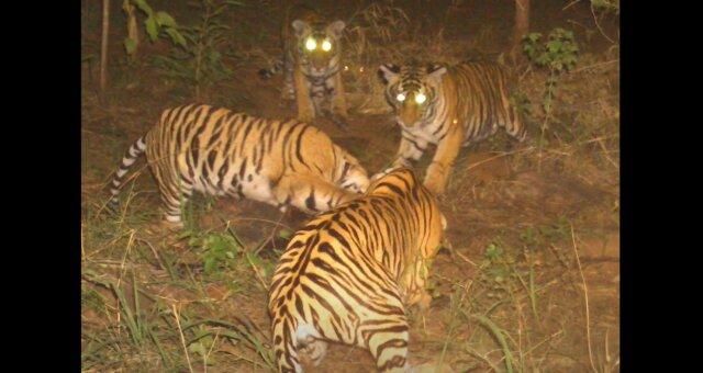 Ein männlicher Tiger kümmerte sich um vier Jungtiere. Quelle: Screenshot Youtube