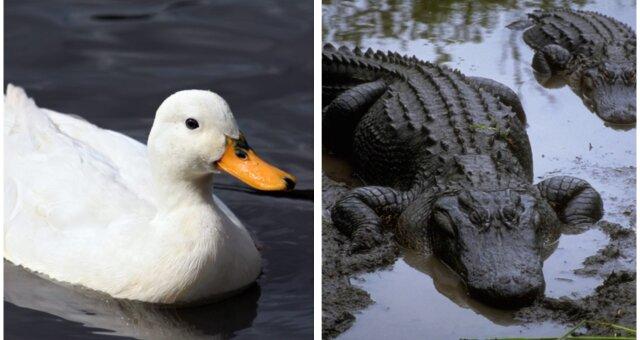 Ente und Krokodile. Quelle: Screenshot Youtube
