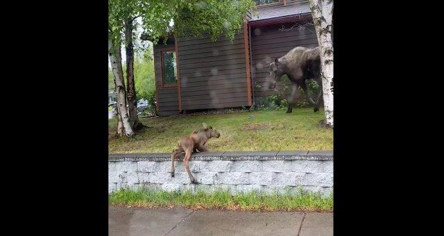 Elchkuh und ihr Baby. Quelle: Screenshot Youtube