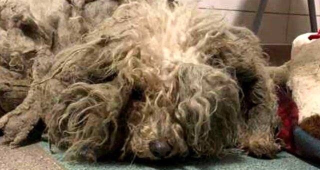 Hund mit verfilztem Fell. Quelle: Screenshot Youtube