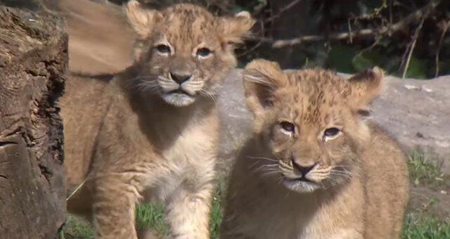 Löwenbabys. Quelle: Screenshot Youtube