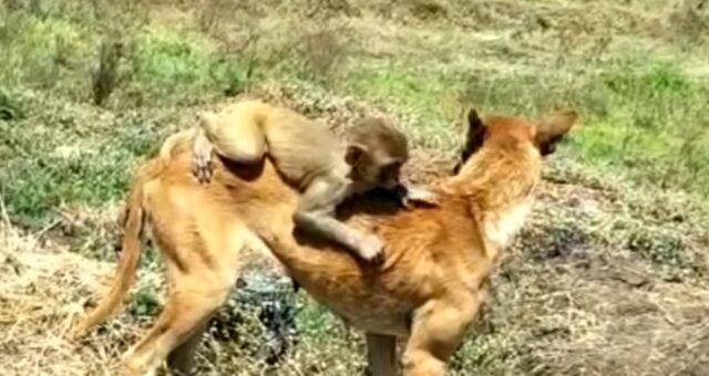 Hündin Ruby adoptierte ein Affenbaby. Quelle: Screenshot Youtube
